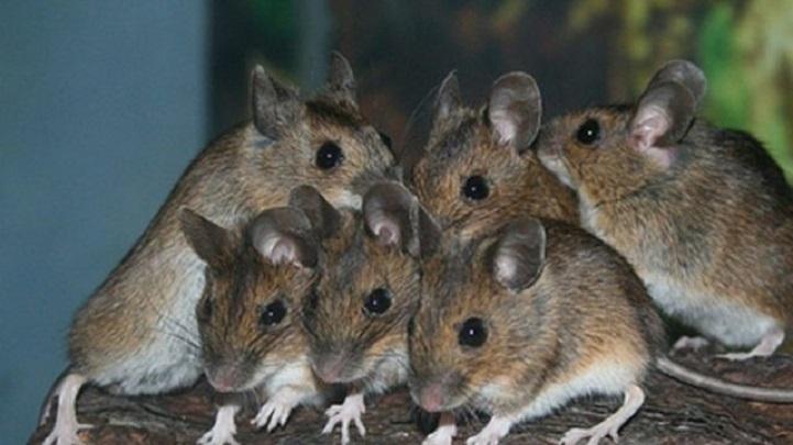 ইঁদুর-গাঁজাখোর-8 police officers will go to jail if the rat is not a marijuana!