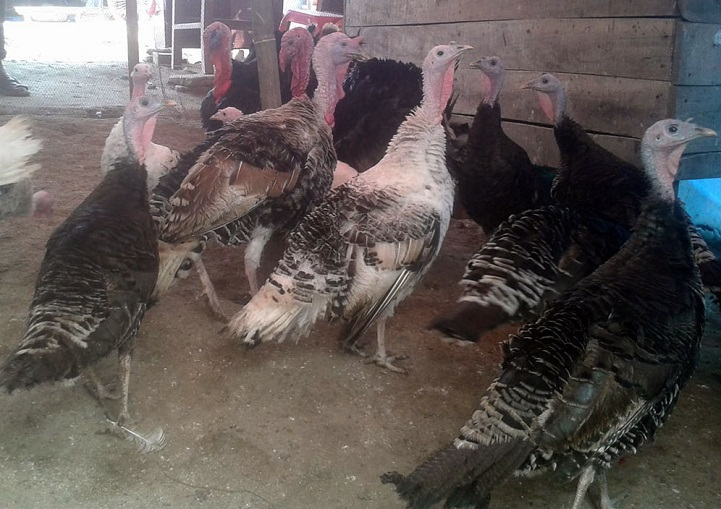 পোল্ট্রি-শিল্পে-টারকি-New additions to turkey poultry industry across the coast