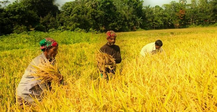 সোনালী-ধান-গোলায়-The farmers of Chandpur have increased the busyness of buying golden rice