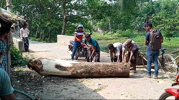 শার্শায় লক্ষ টাকার সরকারী গাছ হজম করতে পারল না ইউপি সদস্য